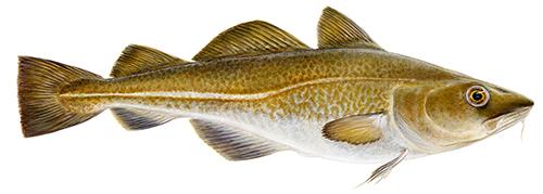 Atlantic cod (Gadus morhua)